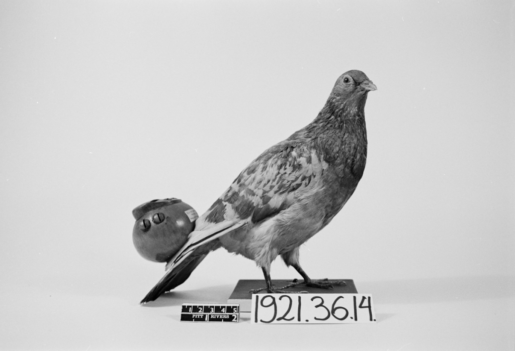 pigeon with flute © pitt rivers museum